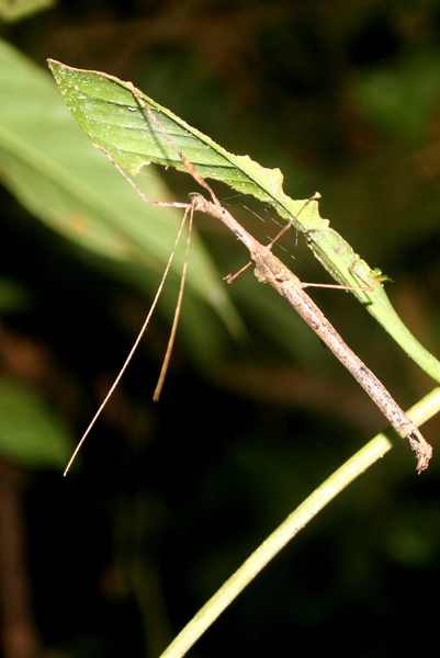 Stick insect at night in Yasuni National Park in the Ecuadorian Amazon