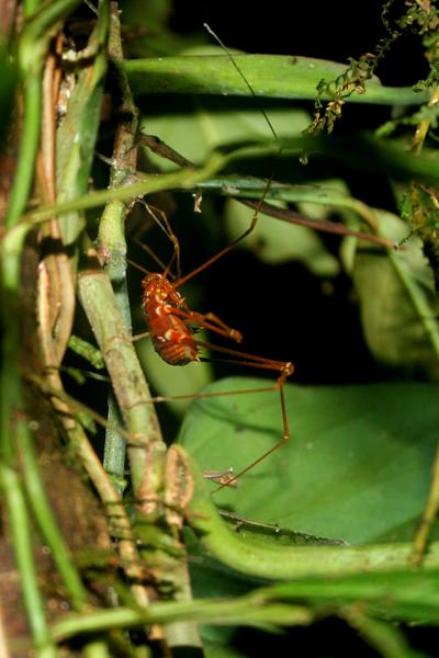 Orange spider at night in Yasuni National Park in the Ecuadorian Amazon