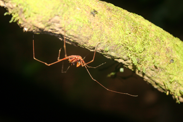 Unidentified harvestman (arachnid) in Yasuni National Park. Photo by: Jeremy Hance.
