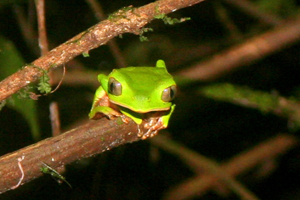 White-lined monkey frog (Phyllomedusa vaillantii) at night in Yasuni National Park in the Ecuadorian Amazon