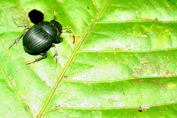 Green beetle at night in Yasuni National Park in the Ecuadorian Amazon