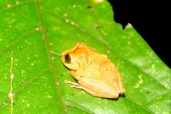 Frog in the Pristimantis genus at night in Yasuni National Park in the Ecuadorian Amazon