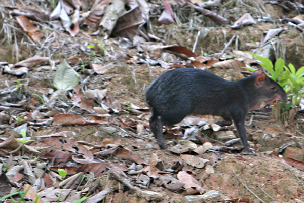 Black agouti (Dasyprocta fuliginosa) in Yasuni National Park in the Ecuadorian Amazon