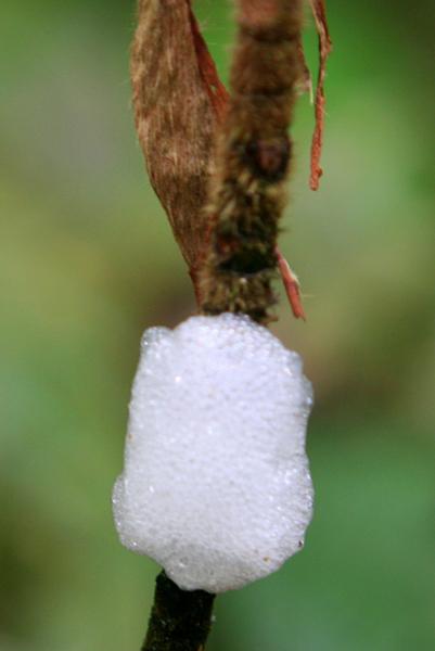 Insect eggs in Yasuni National Park in the Ecuadorian Amazon