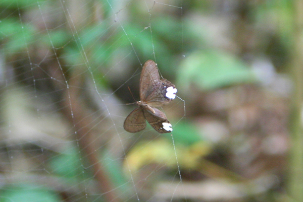 Butterfly or moth caught in a spider's web in Yasuni National Park in the Ecuadorian Amazon
