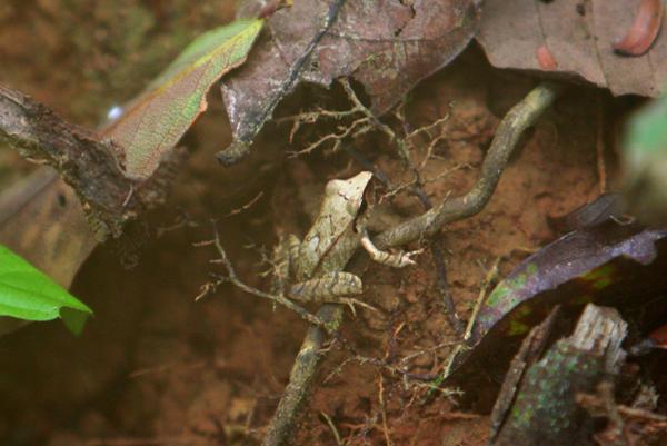Frog in the Pristimantis genus in Yasuni National Park in the Ecuadorian Amazon