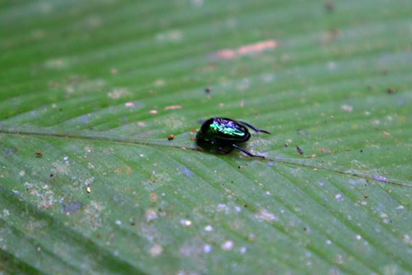 Shiny emerald beetle in Yasuni National Park in the Ecuadorian Amazon