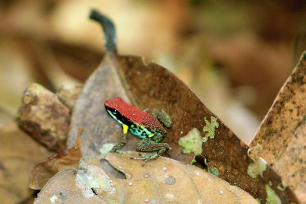 Poison dart frog (Ameerega bilinguis) in Yasuni National Park in the Ecuadorian Amazon