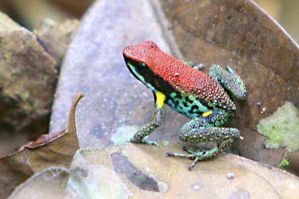 Poison dart frog (Ameerega bilinguis) in Yasuni National Park in the Ecuadorian Amazon