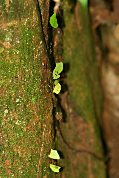 Leaf cutter ants in Yasuni National Park in the Ecuadorian Amazon