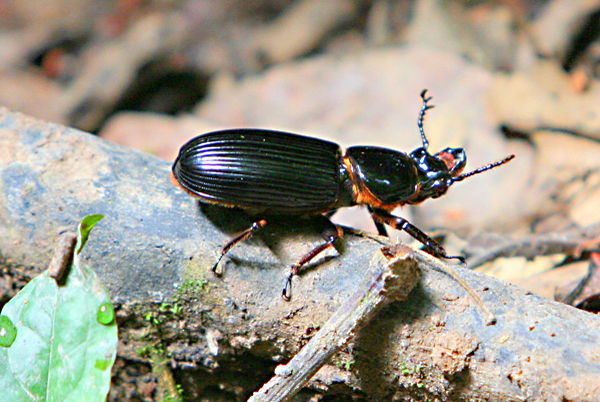 Bess beetle in the Passalidae family in Yasuni National Park in the Ecuadorian Amazon