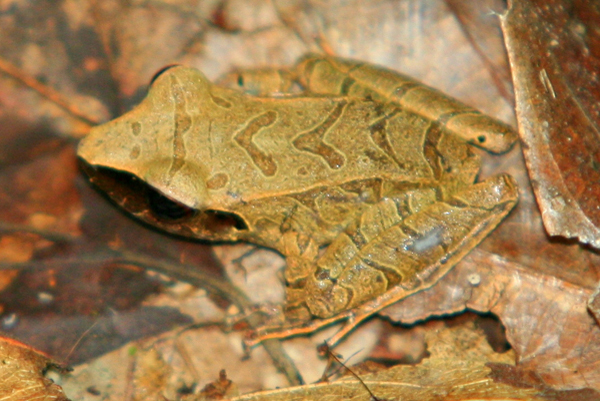 Frog in the Pristimantis genus camouflaged in the leaf litter in Yasuni National Park in the Ecuadorian Amazon