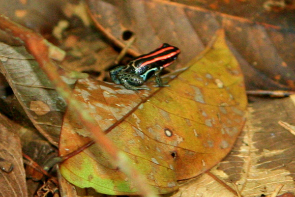 Poison dart frog in Yasuni National Park in the Ecuadorian Amazon