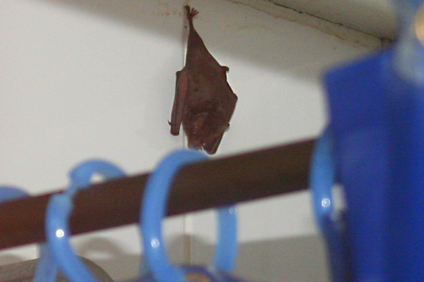Vampire bat in the shower in Yasuni National Park in the Ecuadorian Amazon