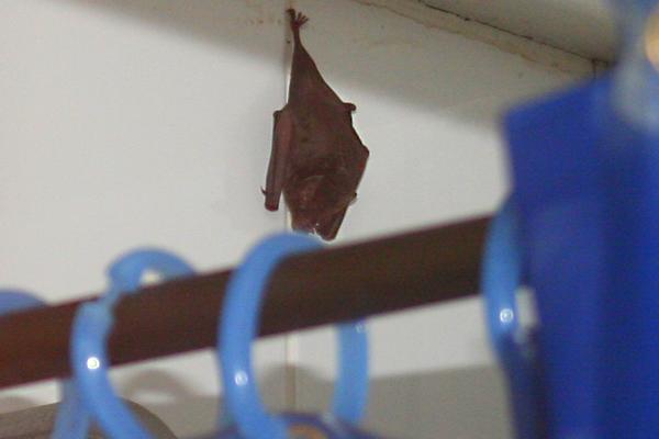 Vampire bat in the shower in Yasuni National Park in the Ecuadorian Amazon