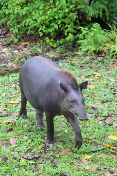 Wild female Brazilian tapir (Tapirus terrestris), which was raised by an indigenous tribe after her mother was hunted for food, periodically seeks out humans