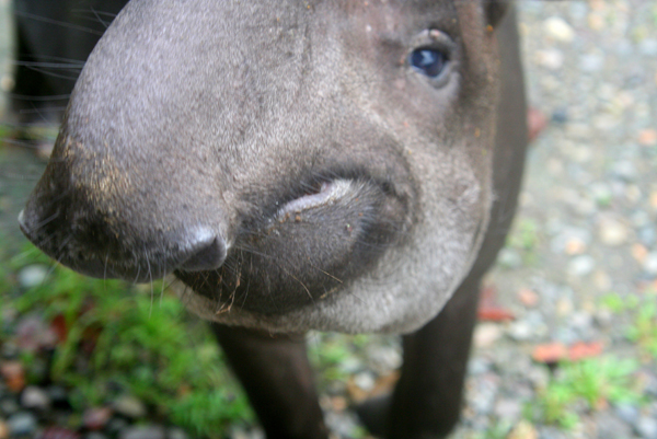 Close-up of wild female Brazilian tapir (Tapirus terrestris), which was raised by an indigenous tribe after her mother was hunted for food, periodically seeks out humans