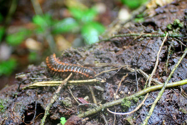 Millipede in Yasuni National Park in the Ecuadorian Amazon