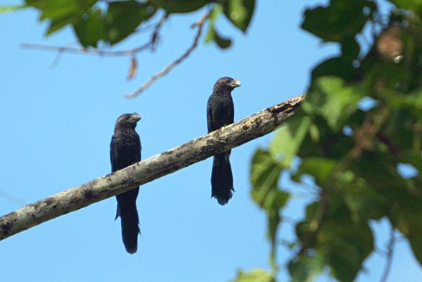 Anis in Yasuni National Park in the Ecuadorian Amazon