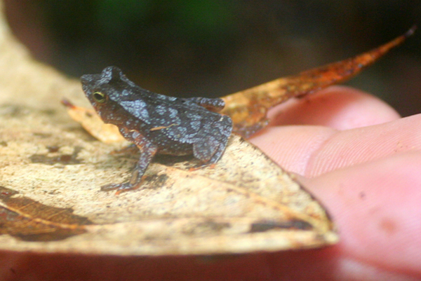 Juvenile frog in Yasuni National Park in the Ecuadorian Amazon