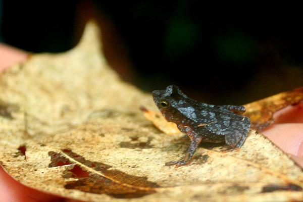 Juvenile frog in Yasuni National Park in the Ecuadorian Amazon
