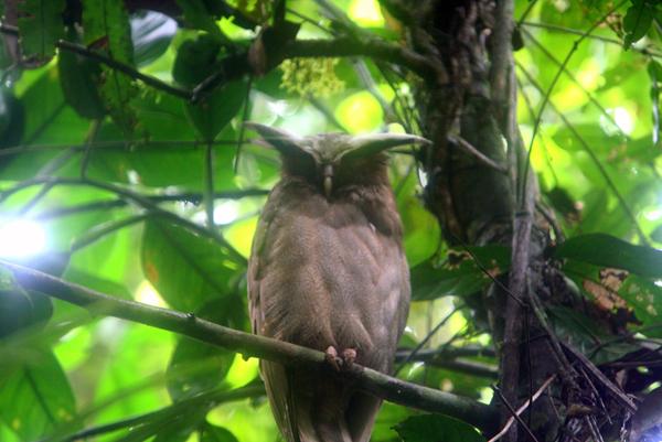 Crested owl (Lophostrix cristata) in Yasuni National Park in the Ecuadorian Amazon