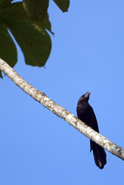 Ani in Yasuni National Park in the Ecuadorian Amazon
