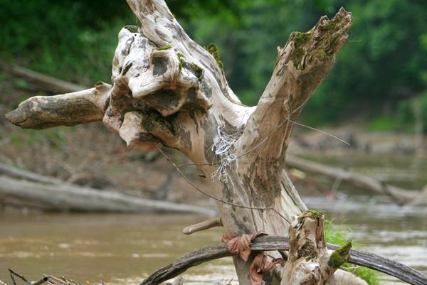 Bird's nest on sunken tree in Tiputini River in Yasuni National Park in the Ecuadorian Amazon