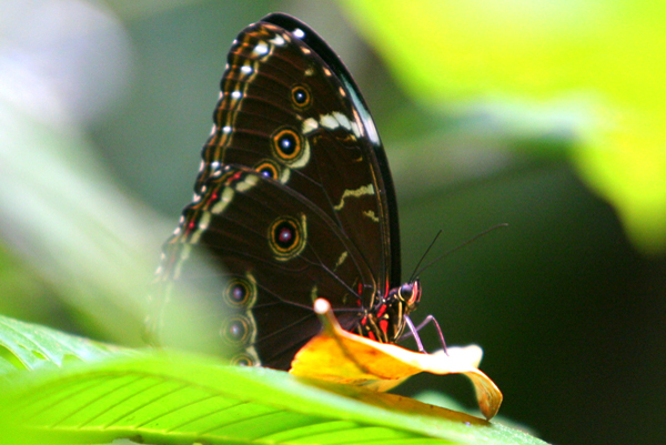 Morpho butterfly in Yasuni National Park in the Ecuadorian Amazon
