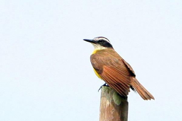 Bird in Yasuni National Park in the Ecuadorian Amazon