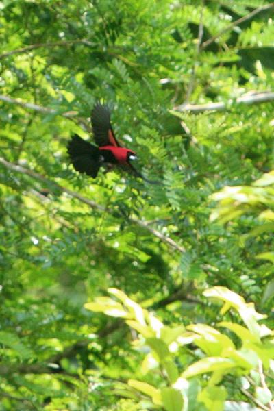 Masked crimson tanager (Ramphocelus nigrogularis) in Yasuni National Park in the Ecuadorian Amazon