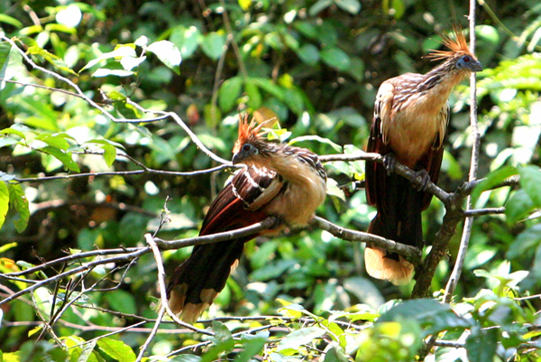 Hoatzins (Opisthocomus hoazin) in Yasuni National Park in the Ecuadorian Amazon