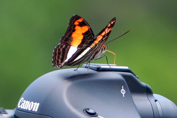 Butterfly rests on camera in Yasuni National Park in the Ecuadorian Amazon