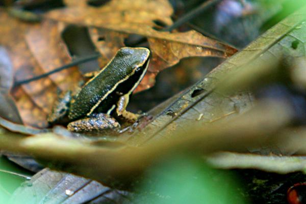 Green, black, and yellow-striped frog in Yasuni National Park in the Ecuadorian Amazon