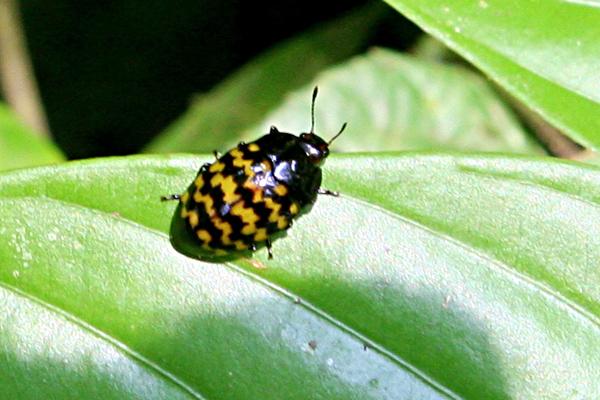 Beetle resembling Charlie Brown's shirt in Yasuni National Park in the Ecuadorian Amazon