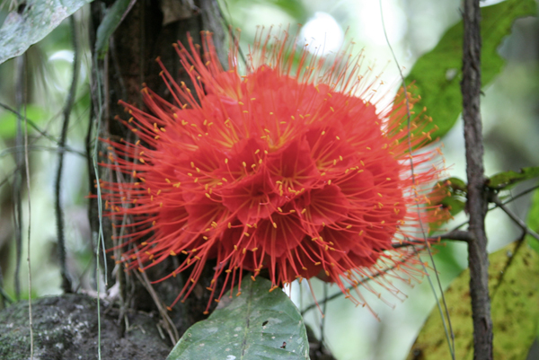 Big red flower in Yasuni National Park in the Ecuadorian Amazon