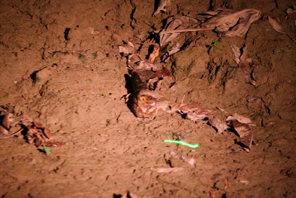 Nightjar at night on the Tiputini River in Yasuni National Park in the Ecuadorian Amazon