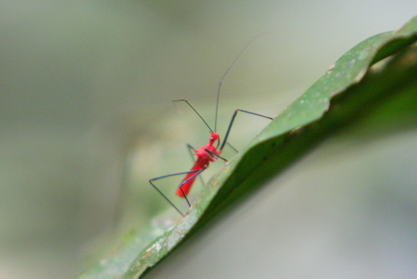 Assassin bug in Yasuni National Park in the Ecuadorian Amazon