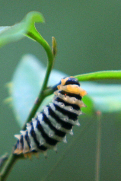 Caterpillar in Yasuni National Park in the Ecuadorian Amazon