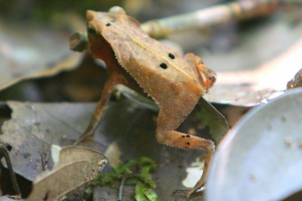 Frog in Yasuni National Park in the Ecuadorian Amazon