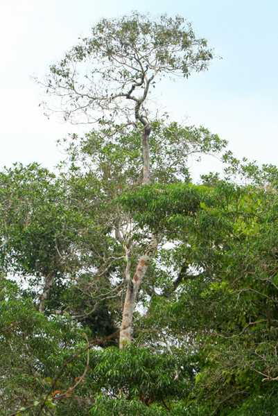 Canopy in Yasuni National Park in the Ecuadorian Amazon