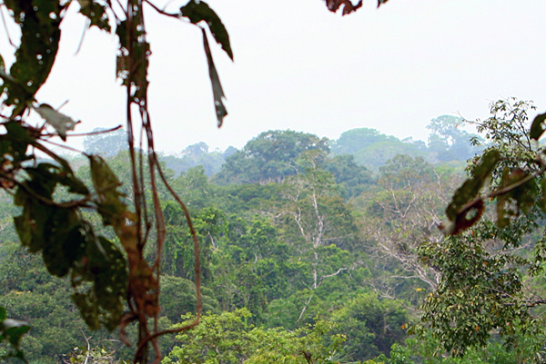 Canopy in Yasuni National Park in the Ecuadorian Amazon