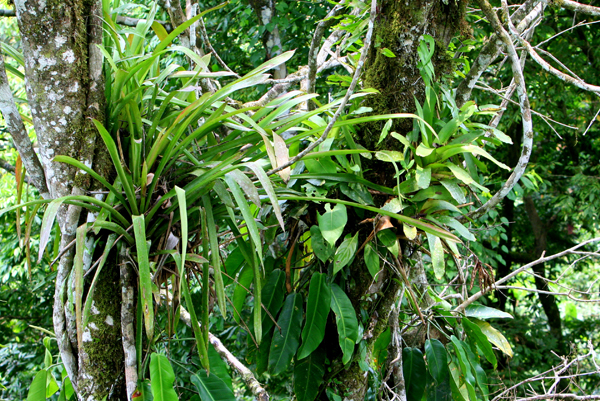 Epiphytes in the canopy in Yasuni National Park in the Ecuadorian Amazon