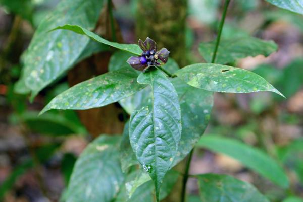Blue flower in Yasuni National Park in the Ecuadorian Amazon