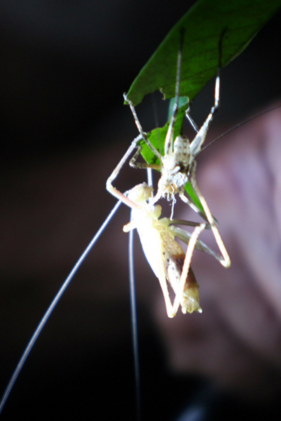 Katydid leaving its exoskeleton at night in Yasuni National Park in the Ecuadorian Amazon