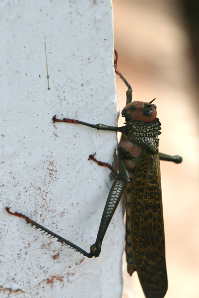 Large grasshopper in Yasuni National Park in the Ecuadorian Amazon