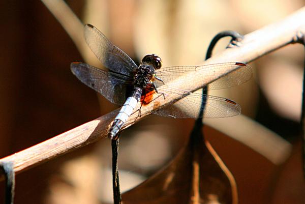 Dragonfly in Yasuni National Park in the Ecuadorian Amazon