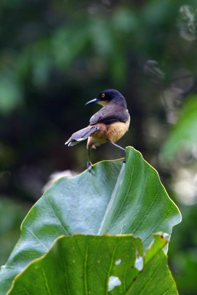 Black-capped donacobius (Donacobius atricapilla) in Yasuni National Park in the Ecuadorian Amazon