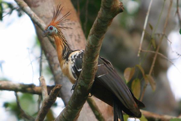 Hoatzin (Opisthocomus hoazin) in Yasuni National Park in the Ecuadorian Amazon