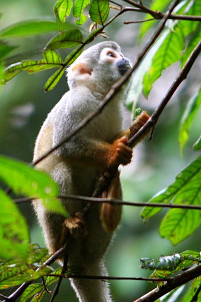 Squirrel monkey (Saimiri sciureus) in Yasuni National Park in the Ecuadorian Amazon